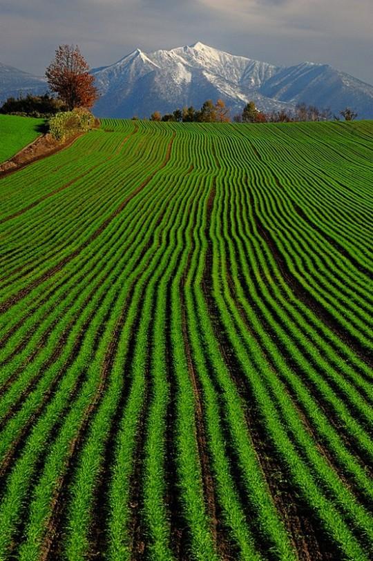 22Green Wheat by Kent Shiraishi, via 500px - Hokkaido, Japan
