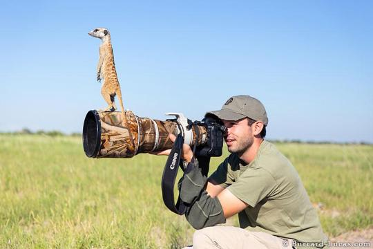 meerkats-human-lookout-post-photography-will-burrard-lucas-4