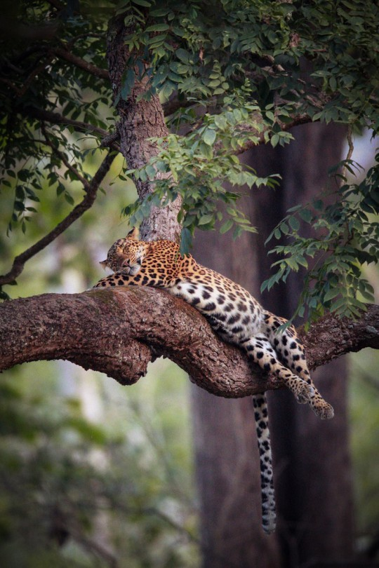 This leapard found it hard to find a comfortable position on the branch and settled into this funny pose. Its belly was full and distended with heavy meal and it tossed and turned as it slept. Reminds me of some evenings after eating out, binging on biryani !