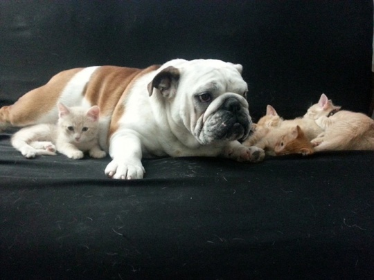 1-year-old English bulldog, befriended six foster kittens his owners were looking after. Born on Halloween the kittens were named Pumpkin, Goblin, Frankenstein, Batman, Zombie and Elvira. 18_hammie