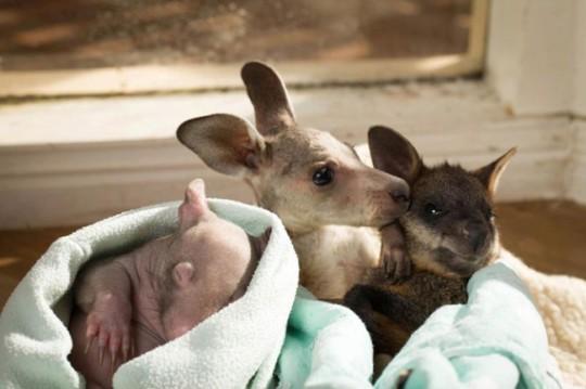 wombat-and-kangaroo-10-650x433