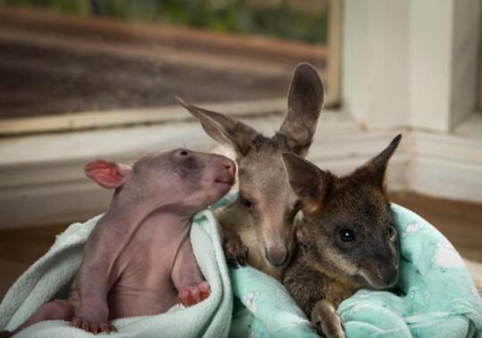 wombat-and-kangaroo-11-650x457