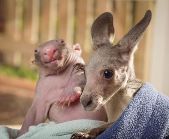wombat-and-kangaroo-3-650x533