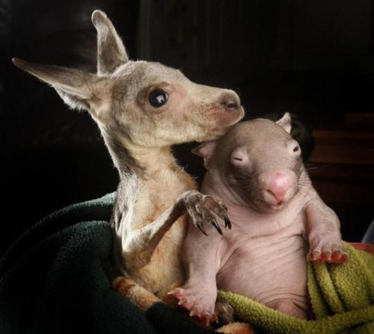 wombat-and-kangaroo-4-650x582