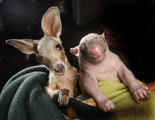 wombat-and-kangaroo-5-650x504