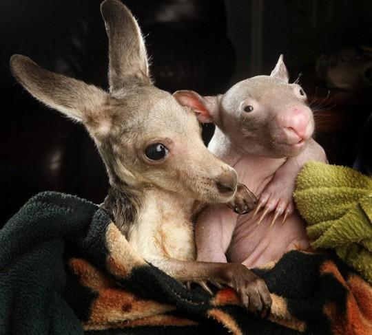 wombat-and-kangaroo-7-650x587