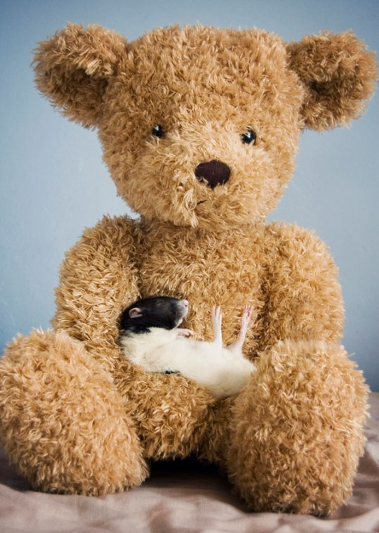 rats-with-teddy-bears-jessica-florence-11