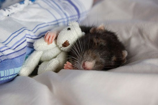 rats-with-teddy-bears-jessica-florence-3