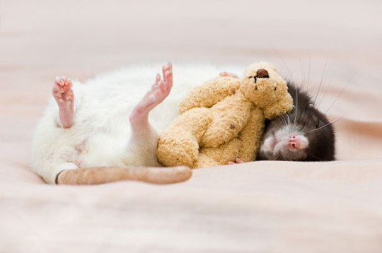 rats-with-teddy-bears-jessica-florence-5