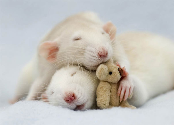 rats-with-teddy-bears-jessica-florence-8