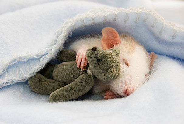 rats-with-teddy-bears1